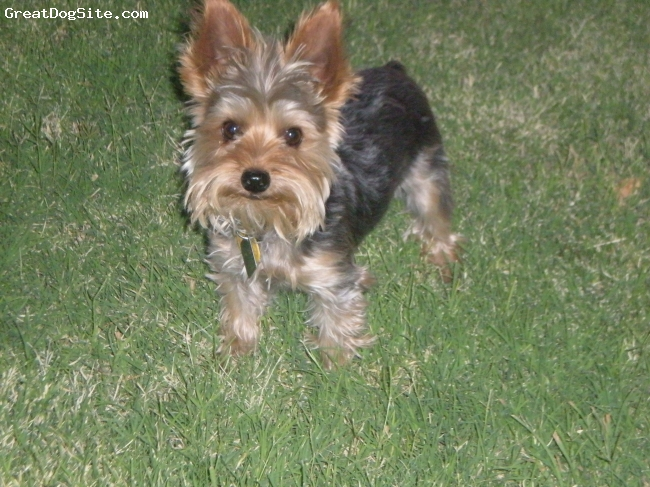 Yorkshire Terrier, 1 YEAR, GRAY/ TAN, GUARD DOG! HAS LOT OF ENERGY.