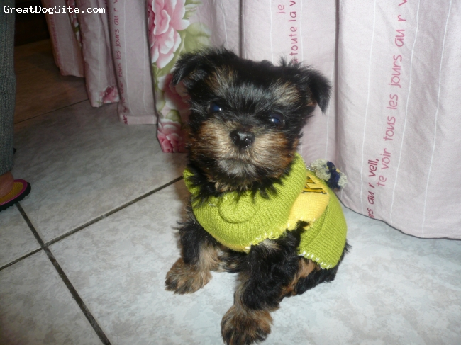 Yorkshire Terrier, 2.5, black and tan, hsinchu Taiwan
