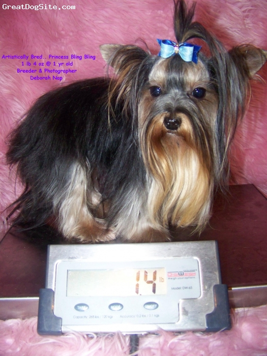 Yorkshire Terrier, 6 weeks old, Blue Gold, Ms America is a joy to share my time with. I can take her every where with me, on the plane or to the mall. Or she loves to be in her condo, her She always wants to play