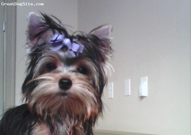 Yorkshire Terrier, 9months, bl/gold, beautiful yorkie
