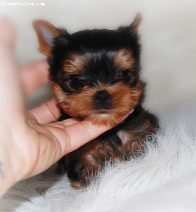 Yorkshire Terrier, 12 weeks, black/gold, Looking for a tiny extreme compact Baby Doll yorkie? We have your extreme baby doll Yorkie , We strive to produce only baby doll tiny Yorkies that have a extra special look to them, like no other ! They are extremly adorable and very tiny... Size range is 2.5lbs - 4lbs. 