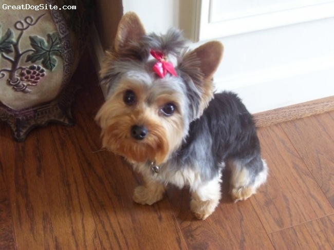 Yorkshire Terrier, 1.5, silver, black, tan, Xena is very affectionate