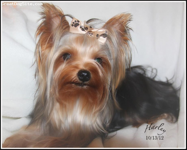 Yorkshire Terrier, 2, Black, tan and grey, This is our adorable Harley Man, he is 2 yrs old and the best dog ever.. Just wanted to share his photo with you all...