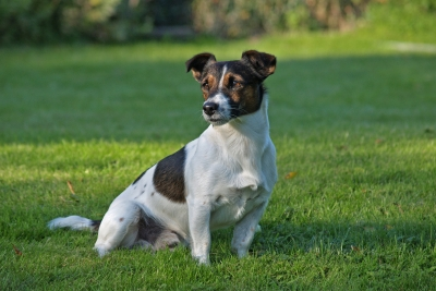 Parson Russell Terrier, ?, ?, ..