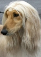 Afghan Hound, 1 year, Cream