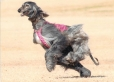 Afghan Hound, 1 year, Gray