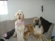 Afghan Hound, 1.5 year and 9 months, red