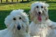 Afghan Hound, 2 years, White