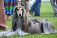Afghan Hound, 2 years, gray