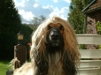 Afghan Hound, 8 years, Brown