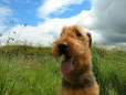 Airedale Terrier, 1 year, Tan