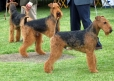 Airedale Terrier, 2 years, Tan