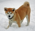 Akita Inu, 5 months, Red