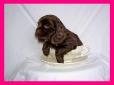 Cocker Spaniel, 8 weeks, Chocolate