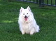 American Eskimo Dog, 1.5 year, White