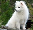 American Eskimo Dog, 2 years, White