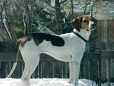 American Foxhound, 8, tri-color
