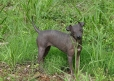 American Hairless Terrier, 1 year, Brown