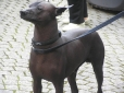 American Hairless Terrier, 2 years, Brown