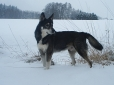 American Indian Dog, 9, dark gray