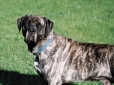 American Mastiff, 2 years, Brindle