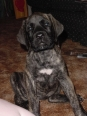 American Mastiff, 9 weeks, brindle