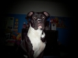 American Pit Bull Terrier, 10 months, black nd white