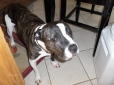 American Pit Bull Terrier, 11, bridle and white