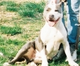 American Pit Bull Terrier, 20-MONTHS, BLUE-WHITE