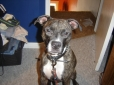 American Pit Bull Terrier, 3 years old, Brindle