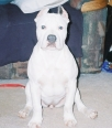 American Pit Bull Terrier, 4-MONTHS, WHITE-BLUEMARKINGS