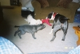 American Pit Bull Terrier, YOUNGSTERS, BLUE-WHITE-BLUEBRINDLE