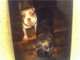 American Pit Bull Terrier, both dogs are 3 years old, red nose and brendel