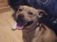 American Staffordshire Terrier, 12 M'S, brindal