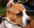 American Staffordshire Terrier, 2 years, Brown and White