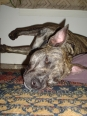 American Staffordshire Terrier, 3, Brindle