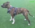 American Staffordshire Terrier, ABOUT 13-14 MONTHS, Brindle