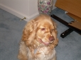 American Water Spaniel, 1, golden