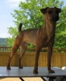 Atlas Terrier, 3 years old, Stag Red