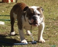 Australian Bulldog, 19 Months, Brindle and White