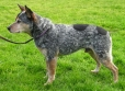 Australian Cattle Dog, 2 years, Mixed