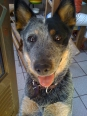 Australian Cattle Dog, 9 MONTHS, BLUE