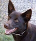 Australian Kelpie, 6 months old, Chocolate