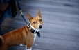 Basenji, 1.5 years, Brown