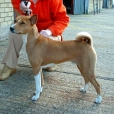 Basenji, 3 years, Brown