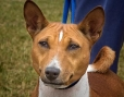 Basenji, 4 years, Brown