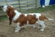 Basset Hound, 2 years, Brown and White