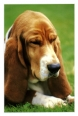 Basset Hound, 2, brown