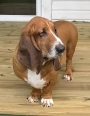 Basset Hound, 6, reddish brown and white