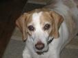 Beagle, 7, Lemon